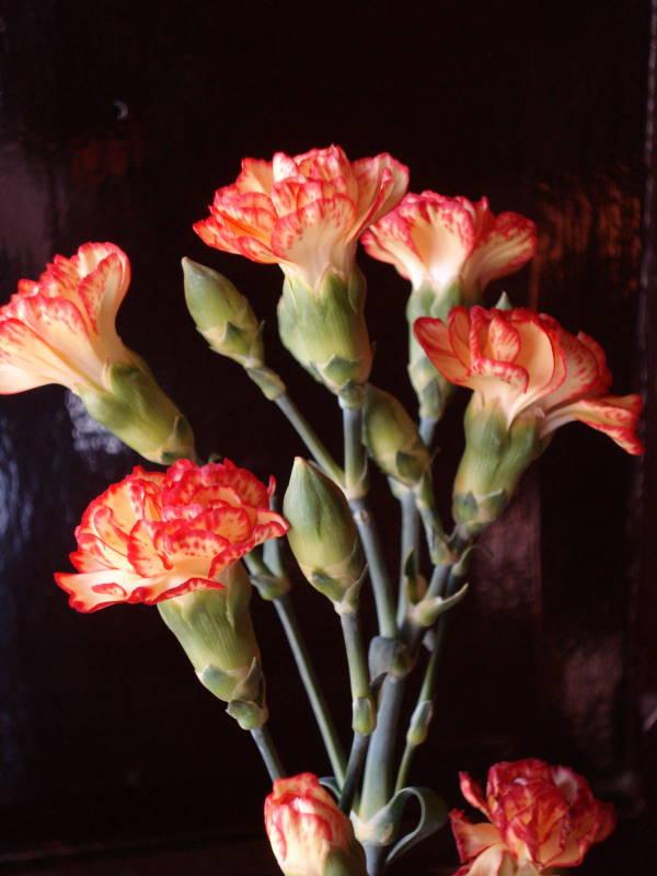 nelken foto bild pflanzen pilze flechten bl ten kleinpflanzen gartenpflanzen und. Black Bedroom Furniture Sets. Home Design Ideas