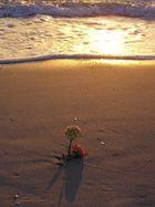 Nelken am Strand