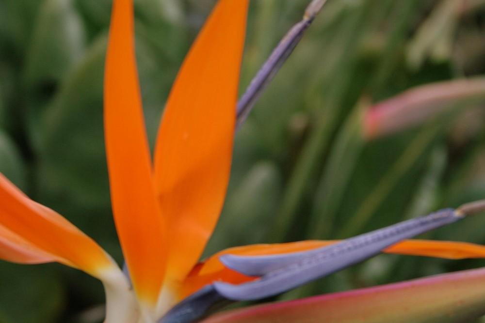 Nelson Mandela Flower