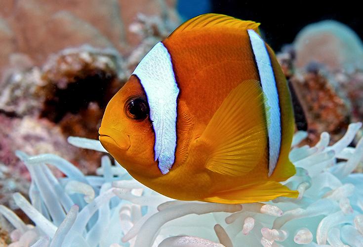 Nemo auf weiß