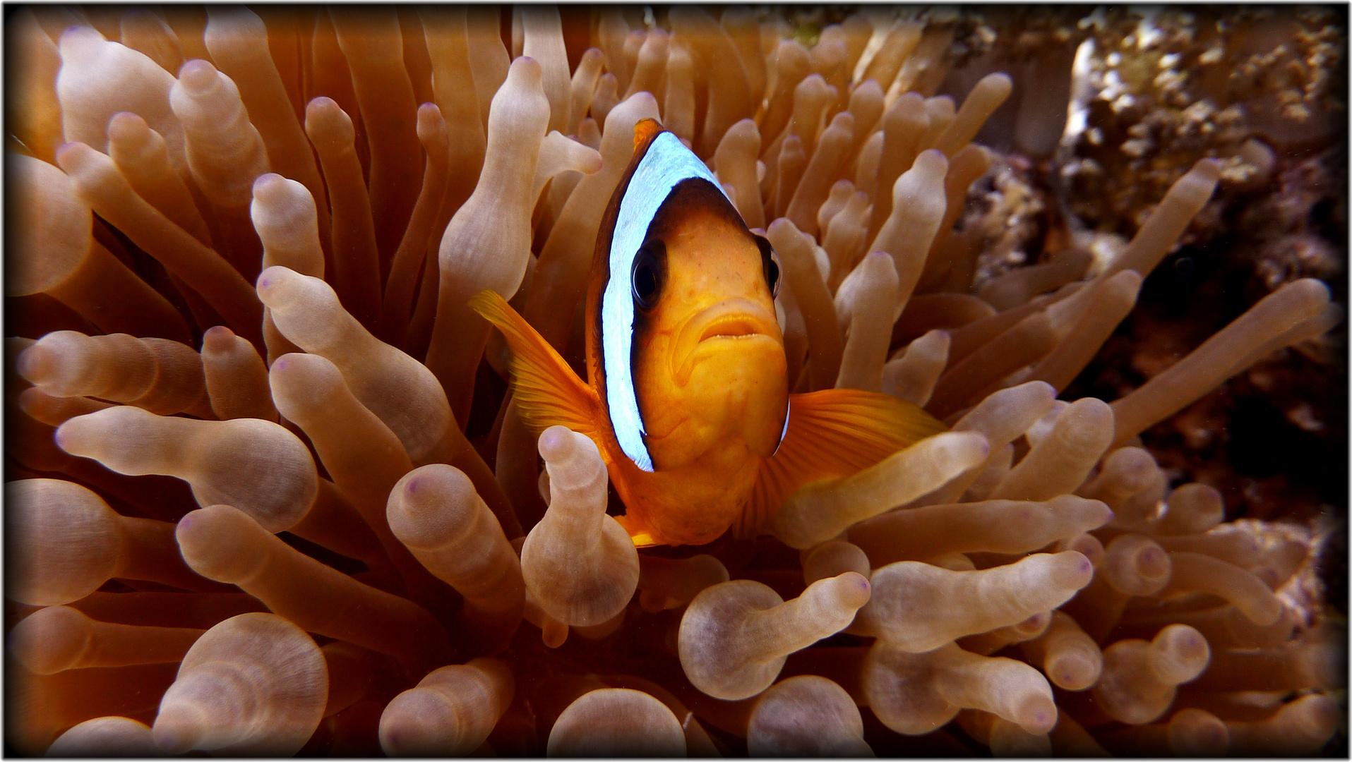 Nemo in Annemone