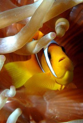Nemo - poisson clown