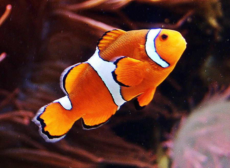 Nemo Vater