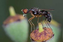 Nemopoda nitidula mâle (Sepsidae)