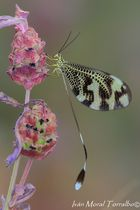 "Nemoptera bipennis. ""una delicadeza"""
