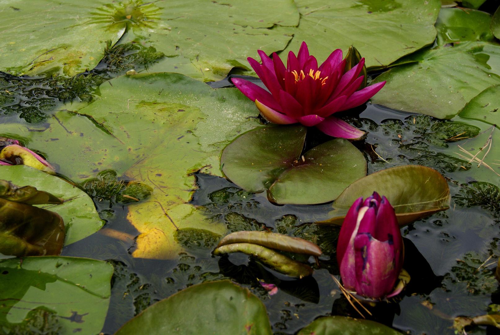 nénupher, jardin des plantes