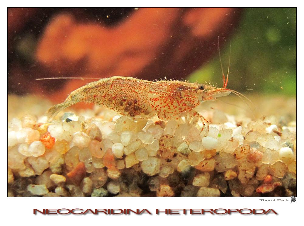 * Neocaridina Heteropoda *
