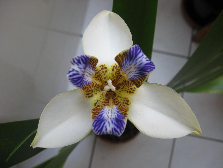 Neomarica northiana oder ...