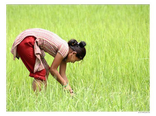 Nepalsommer: Arbeiterin im Reisfeld