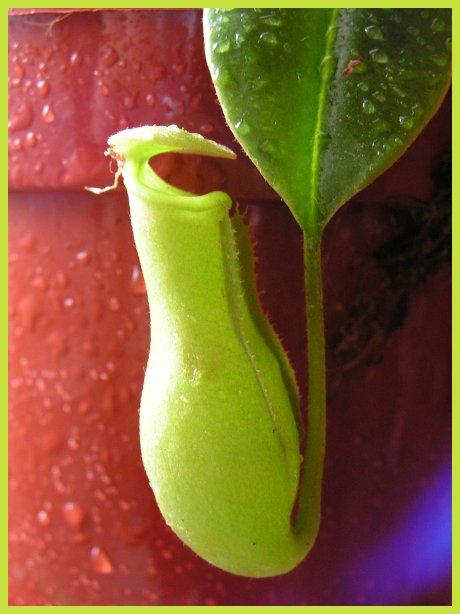 Nepenthes Hybride Kanne