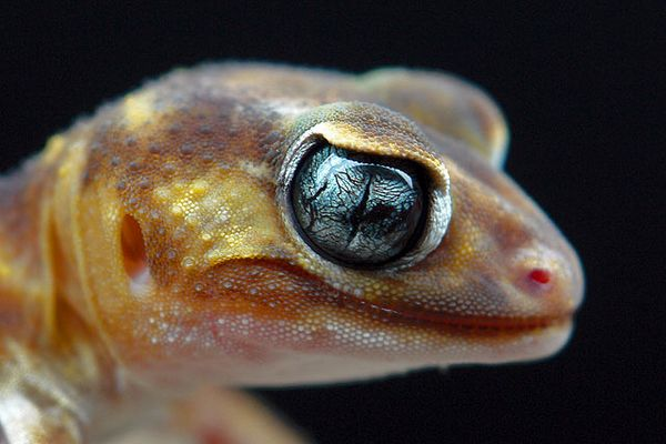 Nephrurus levis pilbarensis (Knopfschwanzgecko Australien)