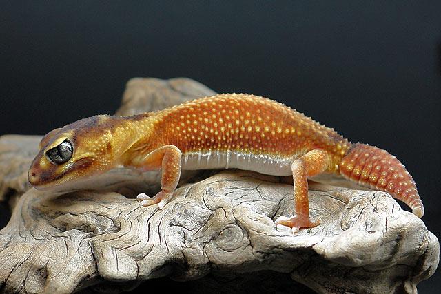 Nephrurus levis pilbarensis (zeichnungsloser Knopfschwanzgecko)