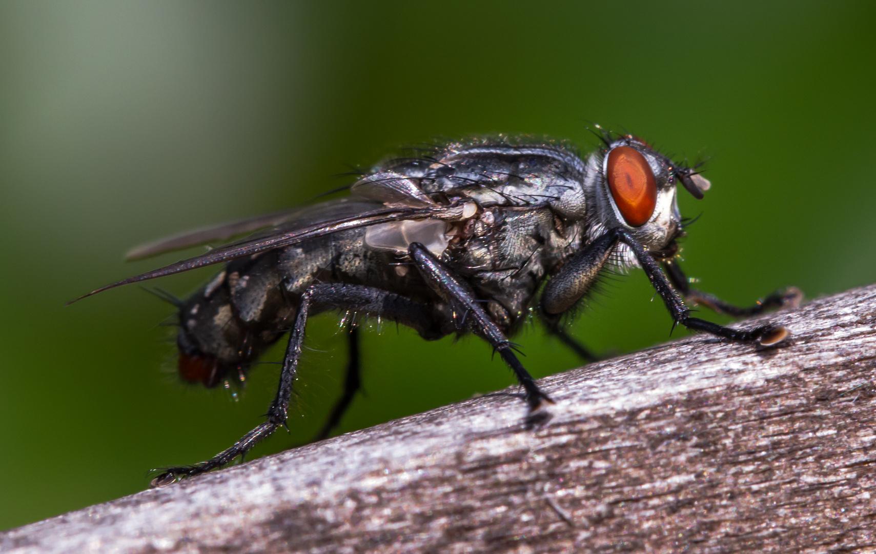 nervige fliege