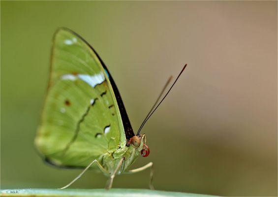 Nessaea auglara, Common Olivewing
