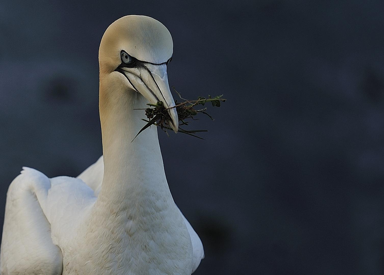 Nest bauen...Bastölpel Helgoland