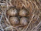 Nest der Haubenlerche