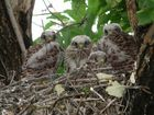 Nest mit Turmfalken