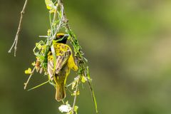 Nestbau des Maskenwebers (Ploceus velatus)