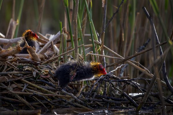 Nestflüchter