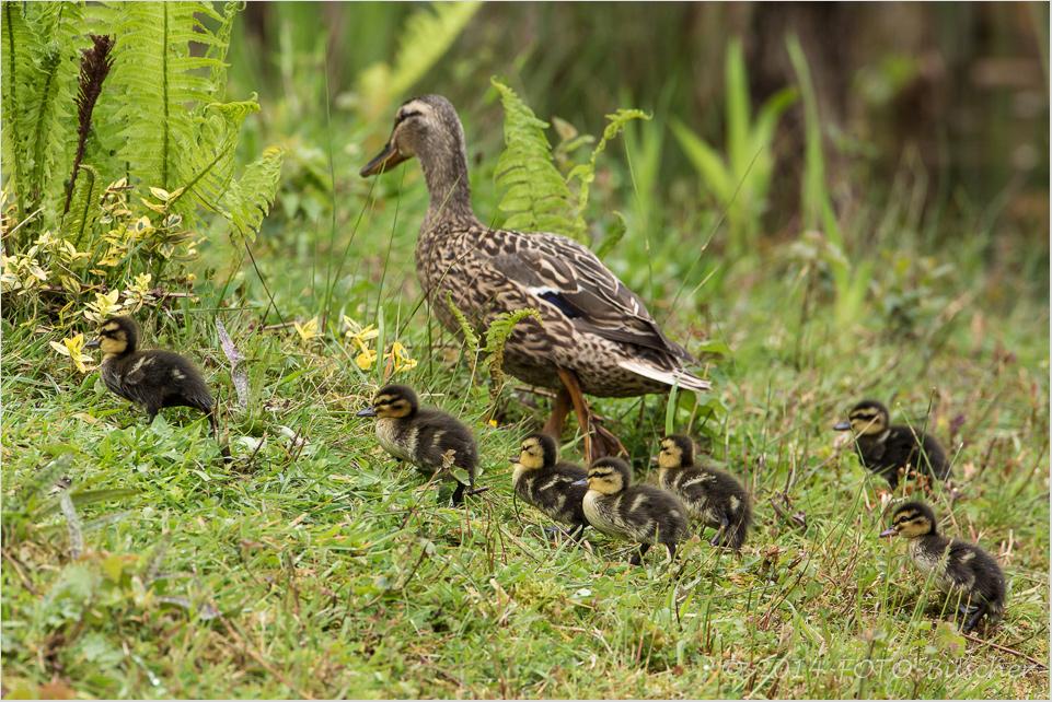 Nestflüchter auf Wanderschaft (Stockente)