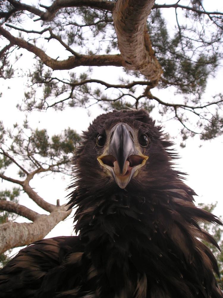 Nestjunger Seeadler