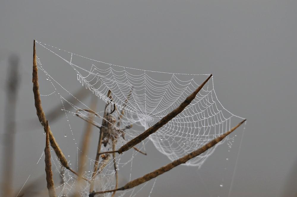 Netz mit Tautropfen an einer Rapspflanze