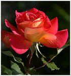 Neu-Rose