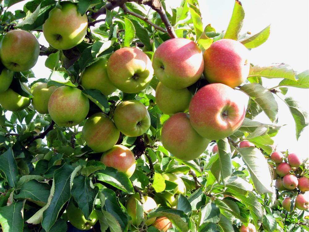 *Neue Äpfel im Alten Land*
