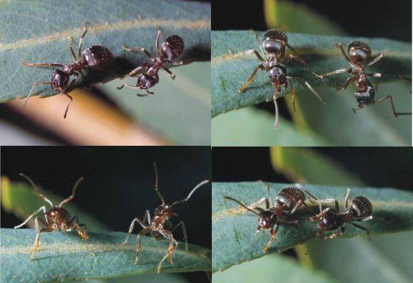 Neue olympische Disziplin? Synchrontanzen der Ameisen?