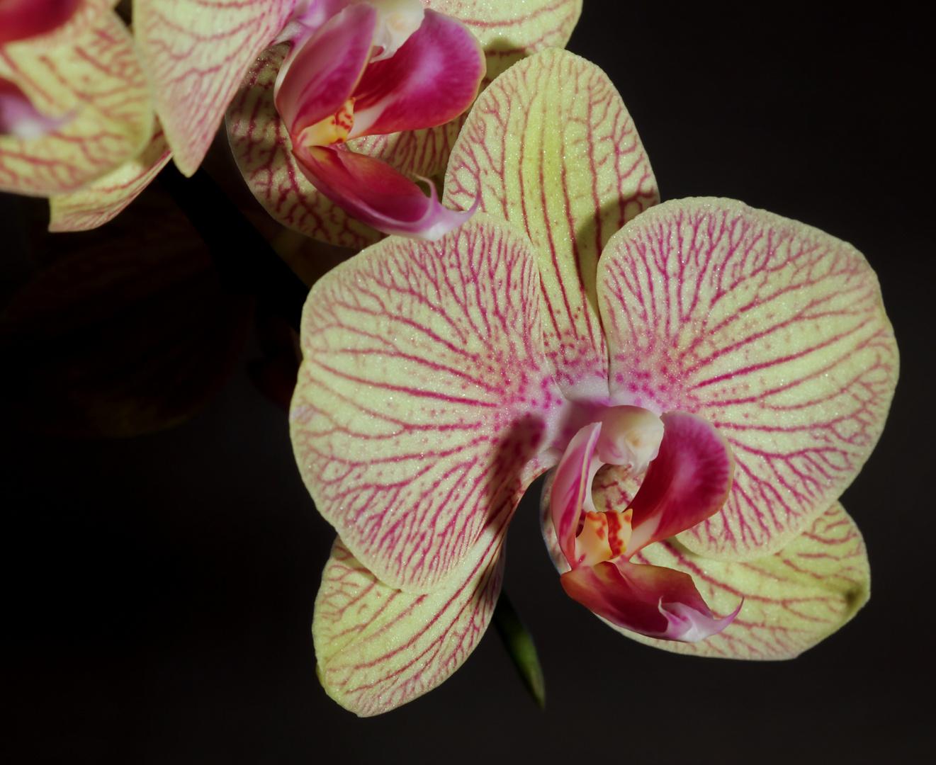Neue Orchidee...