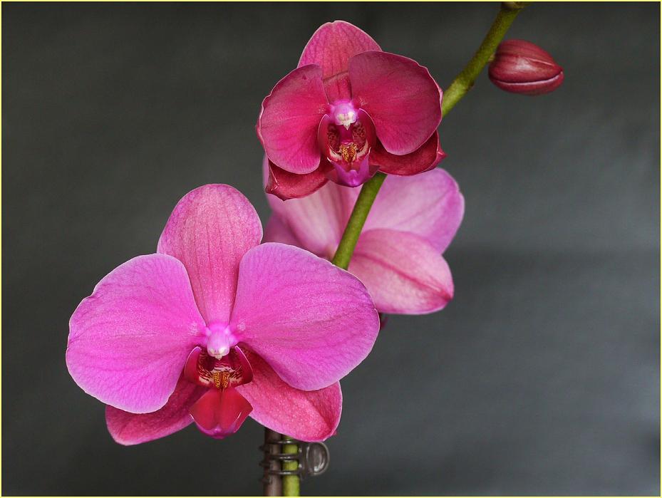 neue rote Orchideen sind bei mir aufgegangen
