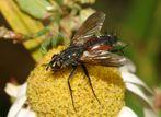 Neue Sektion: Fliegen, Mücken und Schnaken