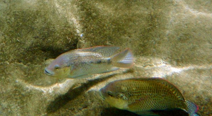 Neue Subspezies: Emiratische-Tilapia (Oreochromis mossambicus bassamkhalafi), Fujairah