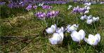 Neues aus meinem Garten 13/II - Krokusse bei 15°