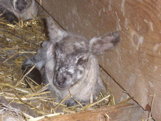 Neugeborenes Lamm im Emmental