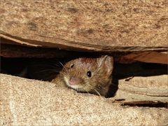 Neugierig lugte die Maus aus dem Holzstapel.