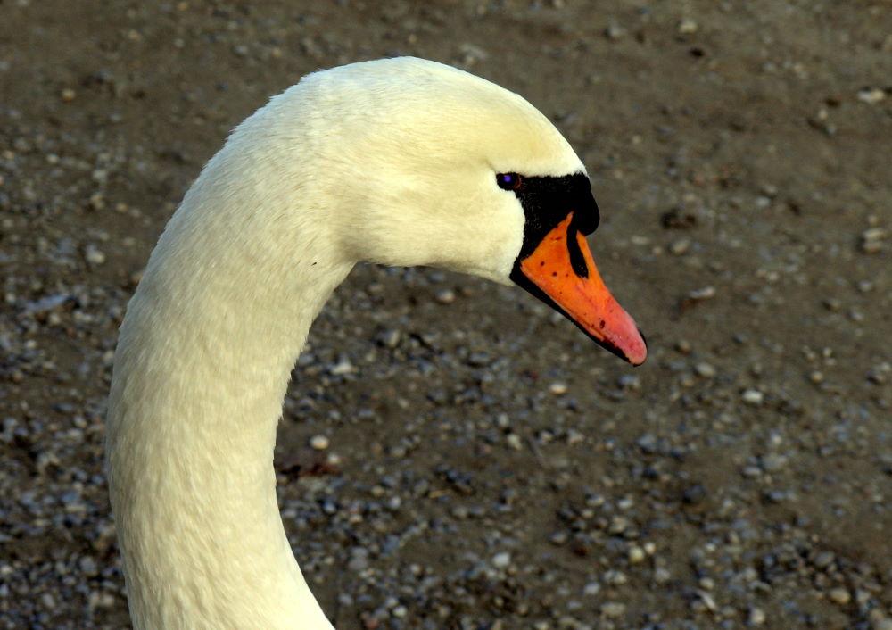 Neugierig schon, aber auf der Hut ist dieser Schwan am Rheinufer