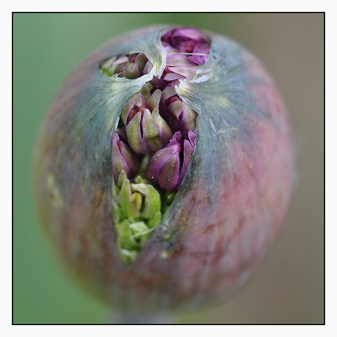 neugierige Alliumblüte