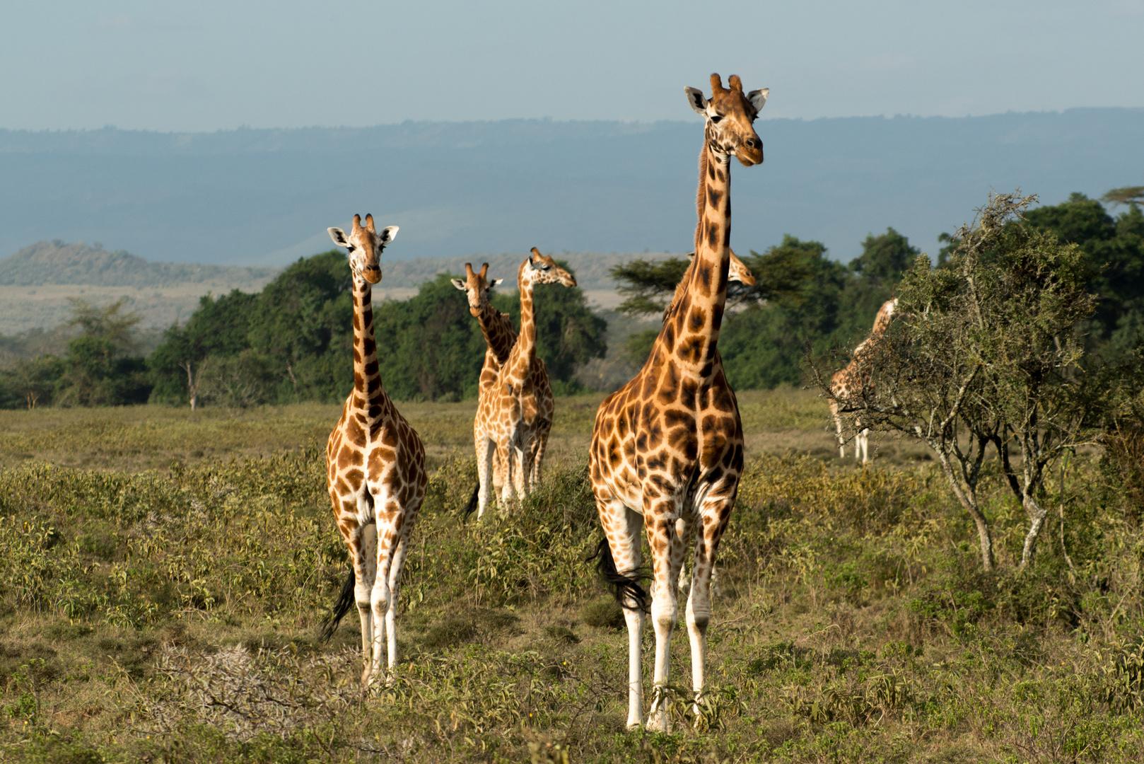 neugierige Giraffen