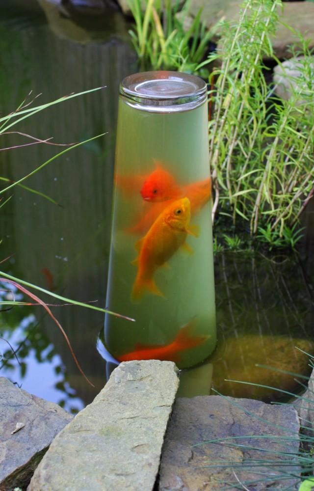 Neugierige goldfische foto bild tiere wildlife for Fische goldfische