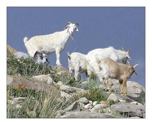 Neugierige kirgisische Bergziegen