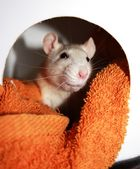 """Neugierige Ratte """"Trude"""""""