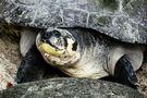 neugierige Schildkröte von Ingeborg K