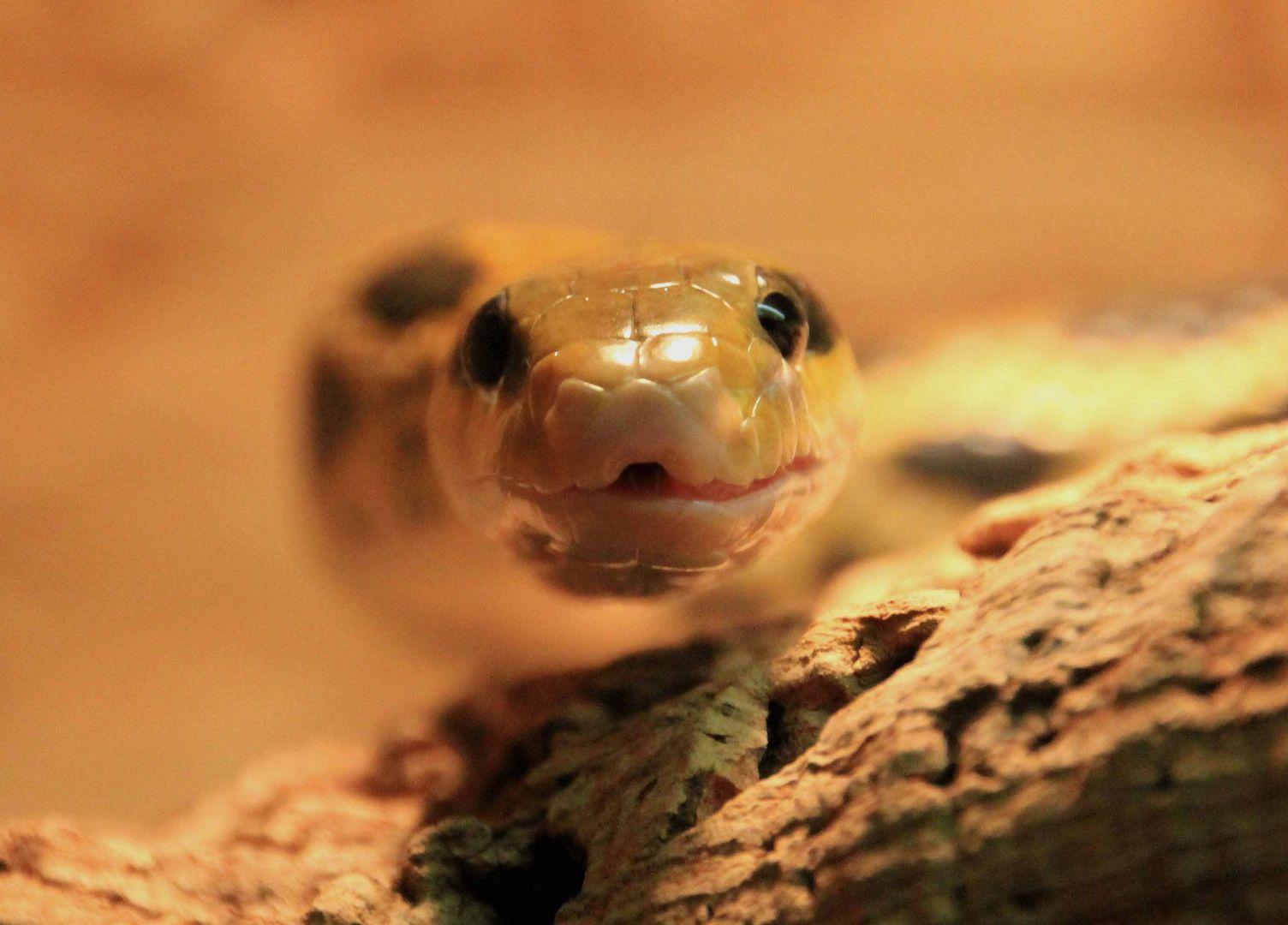 neugierige Schlange
