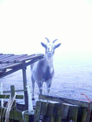 Neugierige Ziege im Nebel