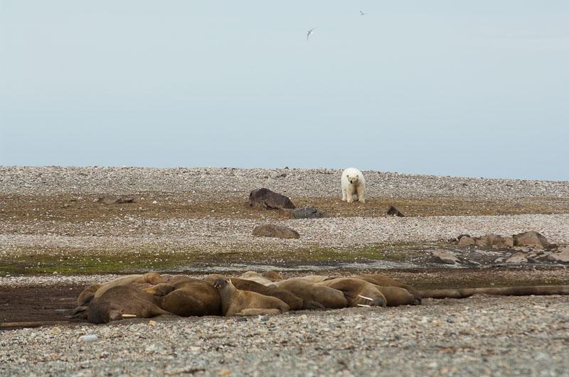 Neugieriger Eisbär begutachtet eine Walrossgruppe