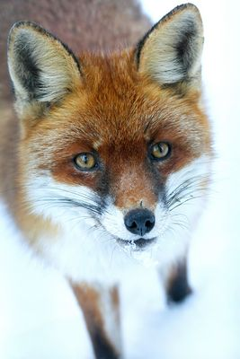 neugieriger Fuchs im Schnee
