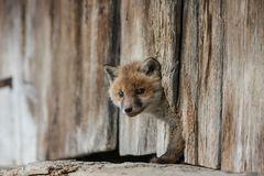 Neugieriger Fuchswelpe