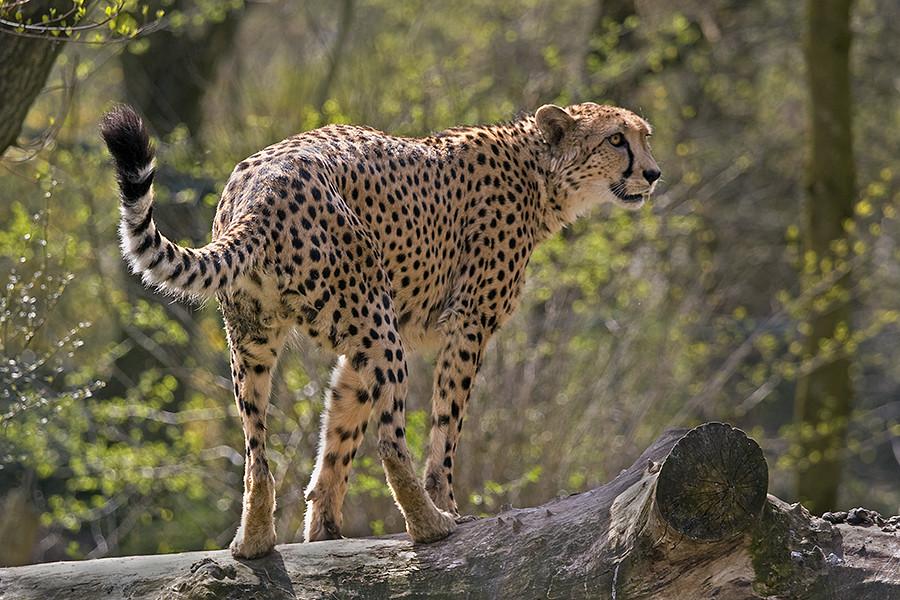 Neugieriger Gepard
