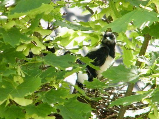 neugieriger Jungvogel ( Elster ) im Nest
